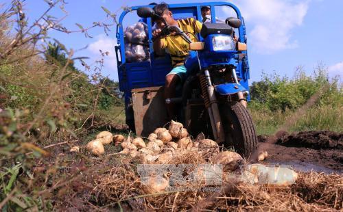 Người dân lao đao vì củ đậu…ế. Ảnh: K GỬIH/TTXVN.