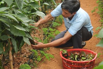 Anh Nguyễn Định đang thu hoạch ớt khủng