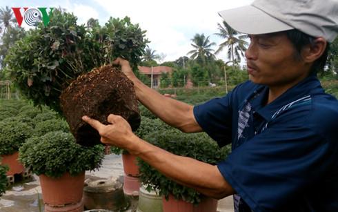 Rễ cúc bị thối rễ sau khi phun thuốc phòng bệnh héo xanh nhãn hiệu Ali