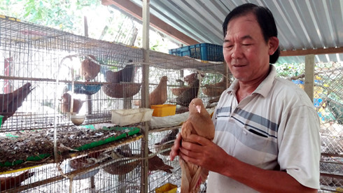 Ông Nguyễn Minh Quang nâng niu bồ câu Gà có giá trị kinh tế cao.