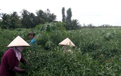 Nông dân xã Bình Ninh, huyện Chợ Gạo, tỉnh Tiền Giang thu hoạch ớt bán giá cao.