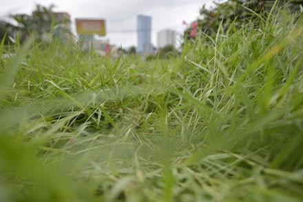 """Sau hơn 2 tháng """"buông xuôi"""", cỏ đã mọc um tùm."""
