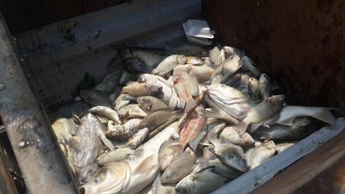 Lần đầu tiên người dân Thủ đô chứng kiến cá chết hàng loạt với khối lượng lớn đến thế