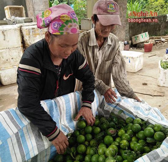 Với gần 2 ha chanh, mọi năm gia đình anh Nguyễn Viết Quang ở thôn Bãi Ổi thu về trên 50 triệu đồng nhưng năm nay, giá bán quá thấp, nên nguồn thu chỉ bằng nửa năm trước.