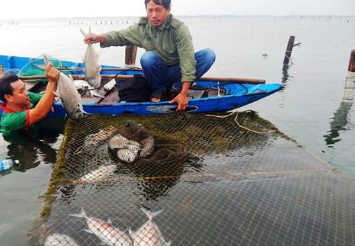 Cá tiếp tục chết, ngư dân Lăng Cô phải vớt đem chôn để tránh gây ô nhiễm cho đầm Lập An. Ảnh: T.Hòe