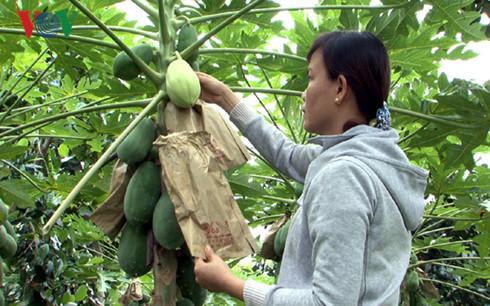 Chị Nguyễn Thị Ướm chăm nom những trái đu đủ tạo hình.