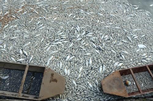 Khu vực đầu đường Nguyễn Đình Thi có nhiều điểm xác cá chết đang trong thời kỳ phân hủy chưa được dọn dẹp dẫn đến mùi xú uế bốc nồng nặc cả tuần qua