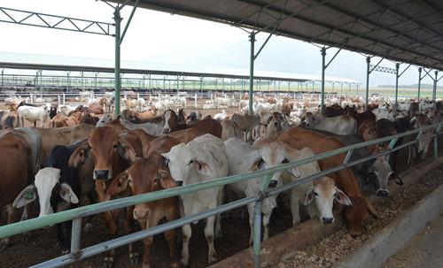 Trang trại nuôi bò của Hoàng Anh Gia Lai
