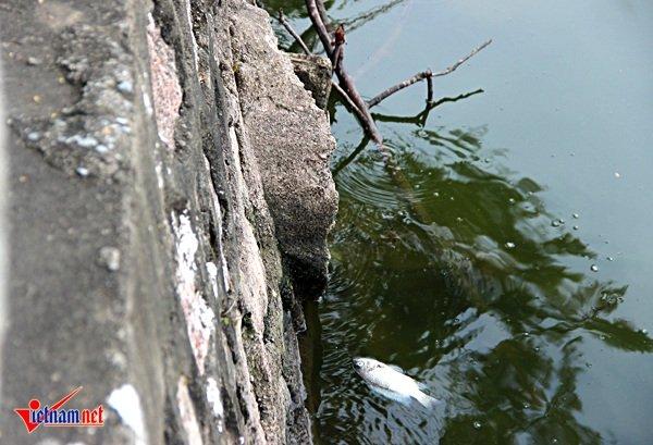 Xác cá chết nằm vất vưởng cạnh miệng cống xả thải tại địa chỉ 189 phố Trích Sài
