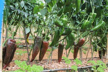 Vườn ớt khủng của anh nông dân Đà Lạt