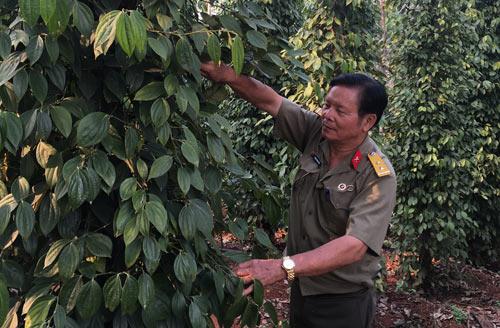 Nhờ trồng cao su và hồ tiêu mà ông Trịnh Đình Cây thu lợi nhuận từ 5-10 tỷ đồng/năm (ảnh Hữu Ký)