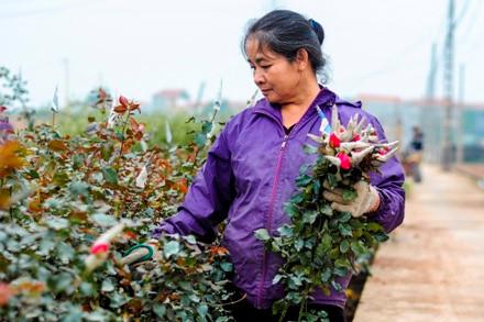 Bà con nông dân tại vườn hoa Tây Tựu thu hoạch hoa bán cung ứng ra thị trường dịp 20/10 (ảnh: Tùng Anh)