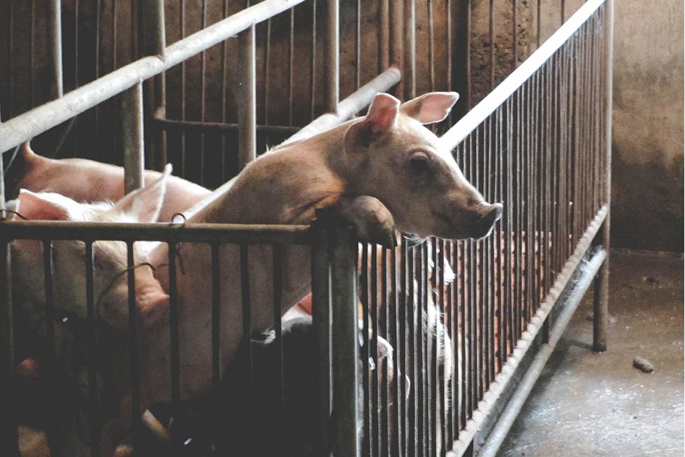 Những con lợn đói ở trung tâm nuôi lợn lớn nhất miền Bắc - Ảnh 1.
