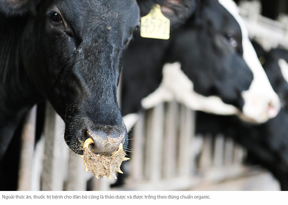 Cuộc sống như mơ của những cô bò hạnh phúc trong trang trại TH True Milk - Ảnh 12.
