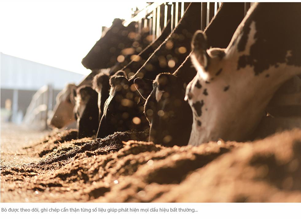Cuộc sống như mơ của những cô bò hạnh phúc trong trang trại TH True Milk - Ảnh 8.