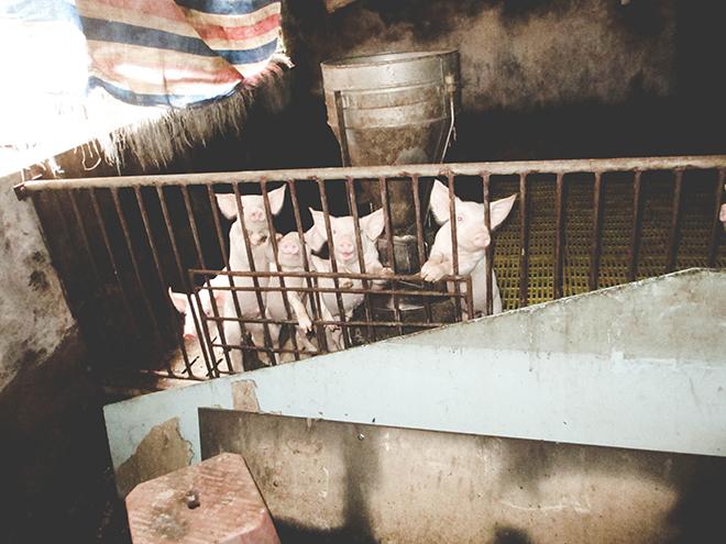 Những con lợn đói ở trung tâm nuôi lợn lớn nhất miền Bắc - Ảnh 15.
