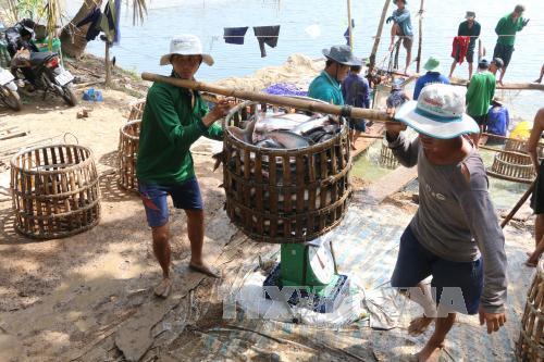 Thu hoạch cá tra của Công Ty TNHH Hùng Cá ở huyện Thanh Bình.