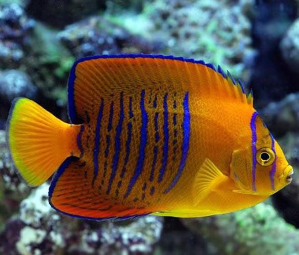 Cá thiên thần Clarion; -  loài cá có màu sắc sặc sỡ với các sọc màu xanh dương (2.500 USD/con)