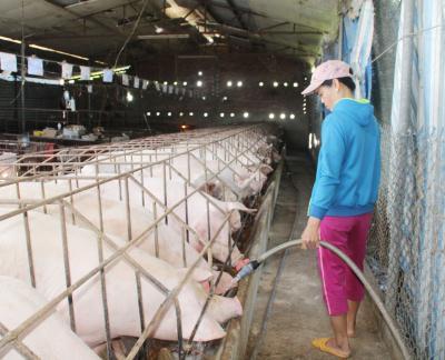 Nhiều trang trại ở Đồng Nai chưa xuất bán được lợn. Ảnh: TTXVN