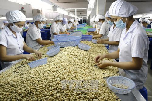 Chế biến hạt điều xuất khẩu tại Công ty cổ phần Nhật Huy, tỉnh Bình Dương. Ảnh: Đình Huệ/TTXVN