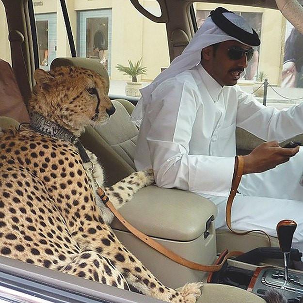 Chắc hẳn, chỉ có ở Dubai bạn mới có thể nhìn thấy hổ, báo trở thành thú cưng và ngoan ngoãn ngồi bên chủ nhân như thế này.
