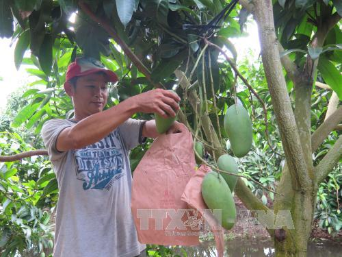 Anh Trần Văn Tư, chủ vườn xoài 5.000 m2 tại ấp Bình Quới, xã Bình Phước Xuân (Chợ Mới, An Giang) bao trái để đáp ứng màu da vàng cho xoài theo yêu cầu của nhà nhập khẩu. Ảnh: Hồng Nhung/TTXVN
