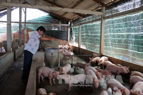 Trang trại của ông Hồ Văn Truyền, xã Thành Thới B, huyện Mỏ Cày Nam (Bến Tre). Ảnh: Trần Thị Thu Hiền/TTXVN