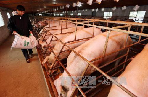 Tăng cường liên kết để hạn chế khâu trung gian trong tiêu thụ thịt lợn. Ảnh: Trần Việt/TTXVN