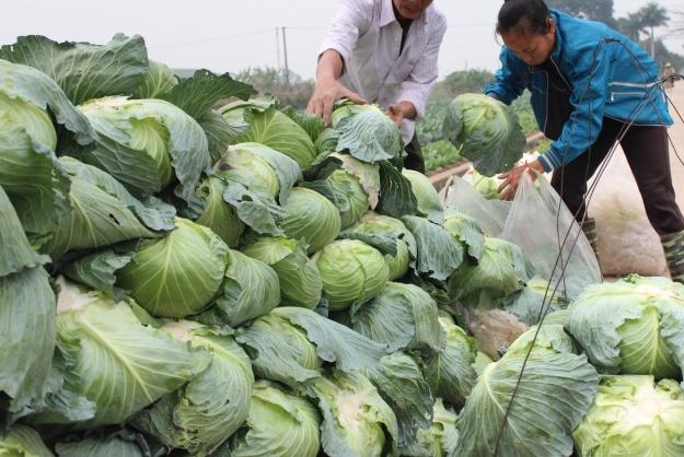 Nông dân xã Song Phương, Hoài Đức thu lỗ nặng vì giá rau rớt thê thảm. Ảnh: TV