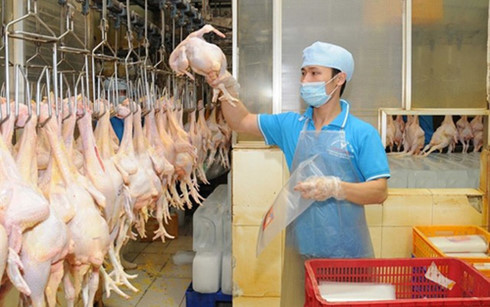Trong 2017 có thể sẽ có sản phẩm thịt gà xuất khẩu chính ngạch sang thị trường Nhật Bản, EU...