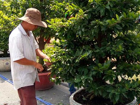 Nhà vườn tại quận Thủ Đức đang chăm sóc mai tết. Ảnh: ML