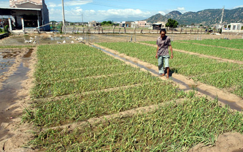 Ông Lê Thành Bổn (xã Thanh Hải) cho biết sau hạn hán, mưa lũ đến quá bất ngờ khiến nông dân trắng tay.