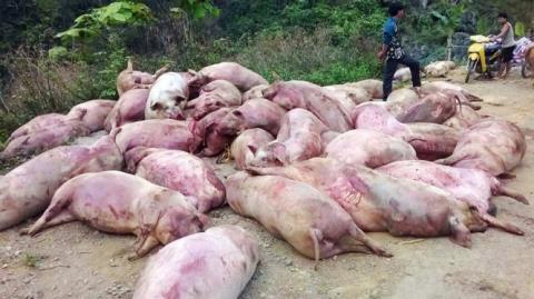 Trung Quốc dừng nhập khẩu lợn bị ùn ứ tại cửa khẩu chết hàng loạt và bị thương lái vứt dọc đường. Hình ảnh tại Cao Bằng hồi tháng 5/2016