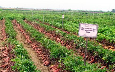 Cây khoai lang đang mang lại nguồn thu lớn cho người dân huyện Tuy Đức.(Ảnh: Internet)
