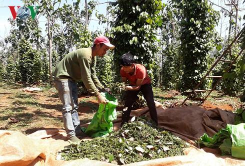 Nông dân Đắk Nông thu hoạch hồ tiêu.