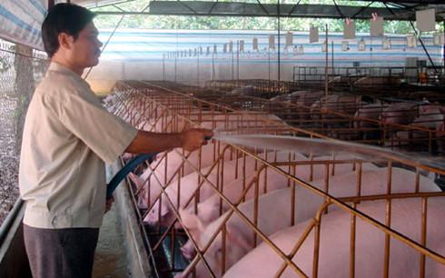 Hiện tỉnh Đồng Nai còn tồn gần 400.000 con heo có trọng lượng từ 70 kg trở lên. (Ảnh minh họa: KT)