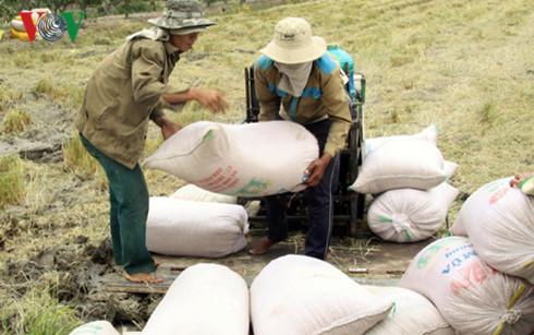 Nông dân đang thu hoạch lúa