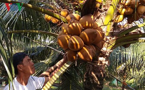 Trái dừa Xiêm đỏ hút hàng, sốt giá