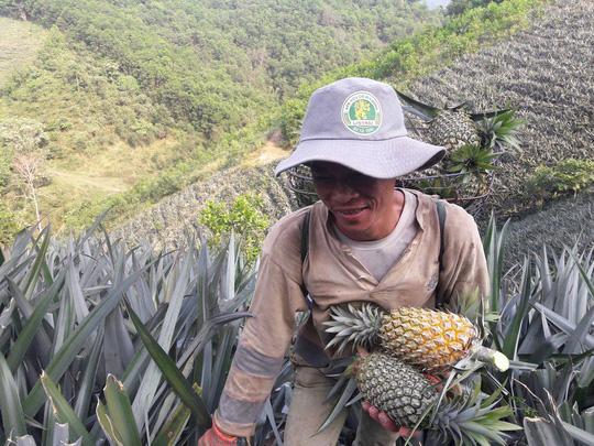 Mỗi lần thu hái, người dân có thể cõng hơn 30 trái dứa nặng hơn 30 kg trên lưng.