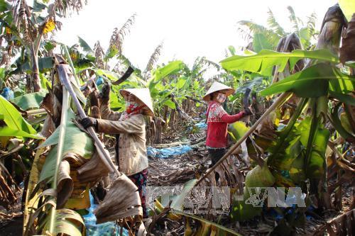 Nông dân xã Tân Đông, huyện Tân Châu đốn bỏ chuối gốc sau khi thu hoạch xong.
