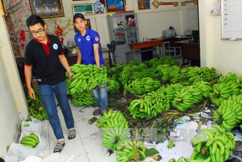 Đoàn viên, sinh viên trường ĐH Công nghiệp thực phẩm TP Hồ Chí Minh tham gia tập kết, vận chuyển chuối đến các điểm tiêu thụ. Ảnh: Mạnh Linh/TTXVN