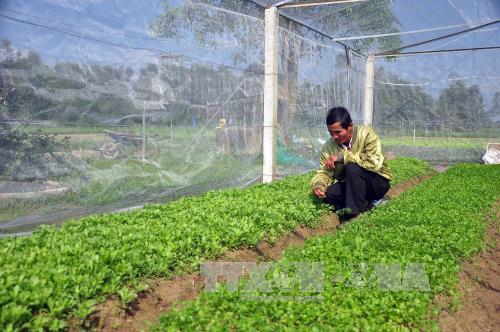 Trồng rau sạch trong nhà lưới ở thôn An Hòa, xã Tam An, huyện Phú Ninh . Ảnh minh họa: Đỗ Trưởng/TTXVN
