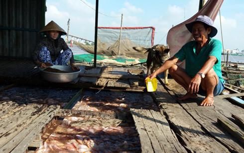 Cá điêu hồng nuôi bè đến kì thu hoạch nhưng giá giảm thấp khiến người nuôi thua lỗ.