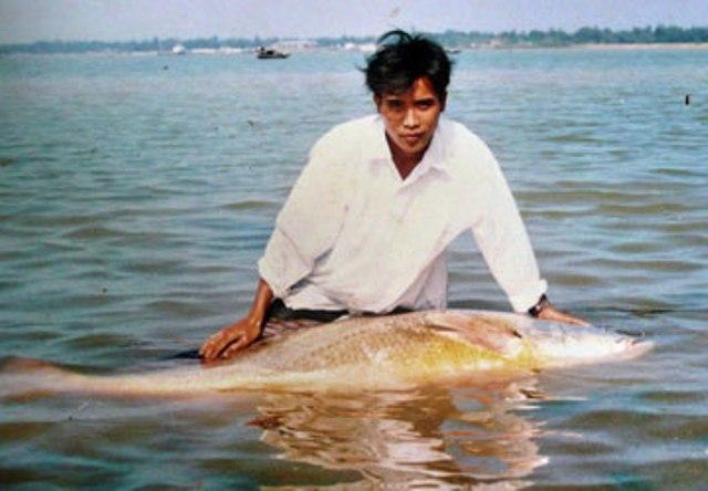 Với giá trị rất cao, cá Sủ vàng gần như đã tuyệt chủng ở Việt Nam.