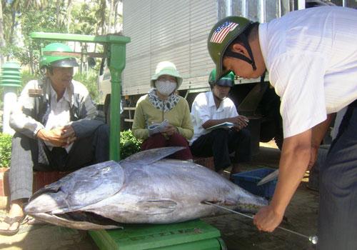 Cá ngừ đại dương được bảo quản bằng đá lạnh nên phần lớn không đạt chất lượng ăn tươi, giá thấp