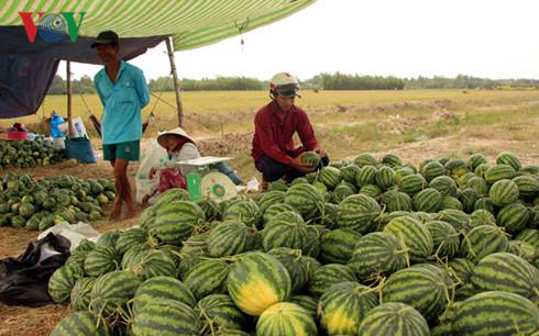 Dưa hấu bất ngờ rớt giá khiến thương lái bẻ kèo không thu mua dưa cho nông dân.