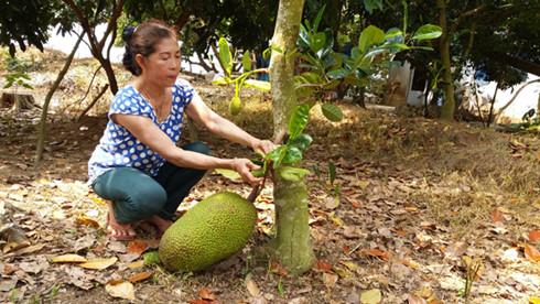 Người dân ở Tiền Giang trồng mít sau 2 năm đã cho trái.