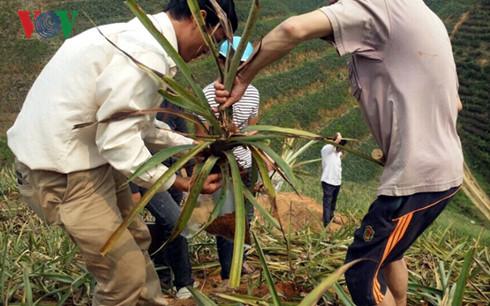 Viện Hóa học Việt Nam tiến hành lấy mẫu dứa để phân tích.