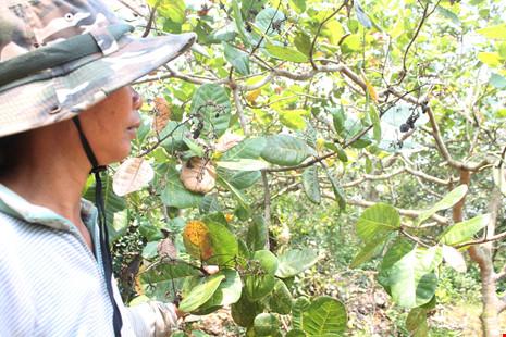 Sâu bênh tấn công khiến nông dân trồng điều nguy cơ trắng tay- Ảnh: Cao Diên