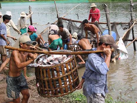 Các DN Việt đang tăng cường xuất khẩu cá tra sang thị trường Trung Quốc. Trong ảnh: Nông dân đang thu hoạch cá tra. Ảnh: CQ